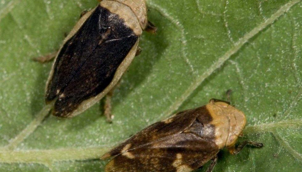 philaenus spumaris articulo xylella vitivin